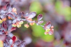 Коричневат-бургундская ветвь куста барбариса Стоковые Фотографии RF