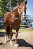 коричневая азиатская лошадь с уздечкой и без седловины стоковые изображения rf