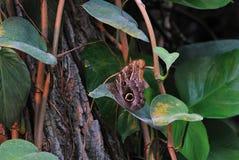коричневая бабочка большая Стоковая Фотография RF