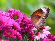 коричневая бабочка Стоковая Фотография