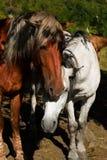 коричневая белизна лошади Стоковые Фотографии RF