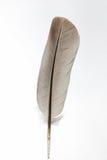 коричневая белизна пера Стоковые Фотографии RF