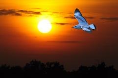 коричневая возглавленная чайка Стоковое фото RF