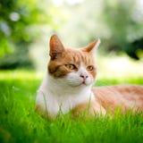 коричневая влюбленность иллюстрации сердца кота Стоковые Изображения RF