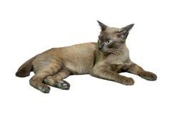 коричневая влюбленность иллюстрации сердца кота Стоковое Фото
