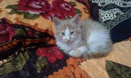 коричневая влюбленность иллюстрации сердца кота Стоковые Фото