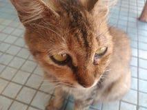 коричневая влюбленность иллюстрации сердца кота Стоковые Фотографии RF