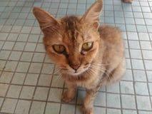 коричневая влюбленность иллюстрации сердца кота Стоковое фото RF