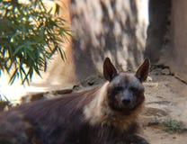 коричневая гиена в зоопарке стоковые фото