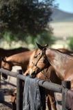 коричневая голова лошади стоковые фото