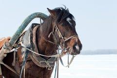 коричневая головная лошадь Стоковое фото RF