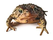 коричневая жаба макроса Стоковое Изображение RF