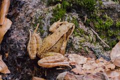 Коричневая жаба сидит на поле леса стоковая фотография