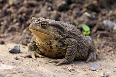 коричневая жаба Стоковое Изображение
