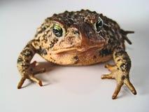 коричневая жаба Стоковые Фото