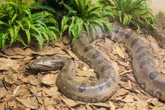 коричневая змейка питона Стоковые Изображения