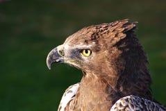 коричневая змейка профиля орла Стоковая Фотография RF