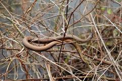 коричневая змейка Стоковые Изображения