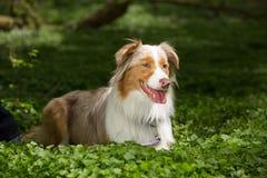 Коричневая и белая собака стоковые изображения rf