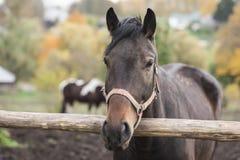 коричневая конюшня лошади Стоковая Фотография