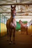 коричневая конюшня лошади стоковое изображение rf