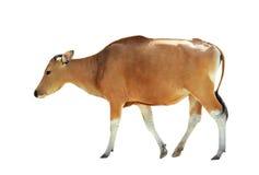 Коричневая корова изолированная на белой предпосылке Стоковое Фото