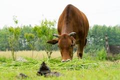 Коричневая корова пася траву на поле с поземом коровы Стоковые Фотографии RF