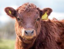 коричневая корова Скотины Farmyard Земледелие мяса & молокозавода Стоковое Изображение