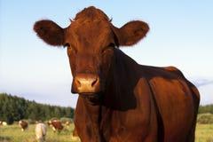коричневая корова Стоковая Фотография