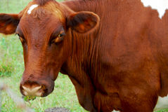 коричневая корова Стоковые Изображения