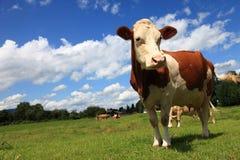 коричневая корова стоковое изображение