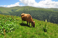 коричневая корова Стоковые Фотографии RF
