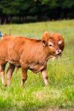 коричневая корова Стоковое Изображение RF