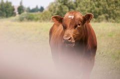 коричневая корова Стоковая Фотография RF