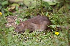 коричневая крыса одичалая Стоковая Фотография
