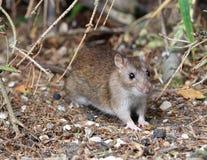коричневая крыса одичалая стоковое фото