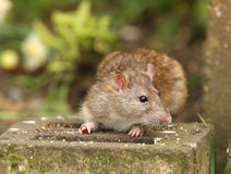коричневая крыса стоковые изображения rf