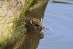 коричневая крыса Стоковые Изображения