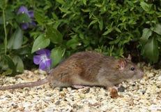 коричневая крыса Стоковое Фото