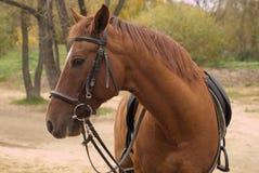 коричневая лошадь проводки напольная Стоковая Фотография