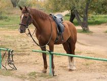 коричневая лошадь проводки напольная Стоковая Фотография RF