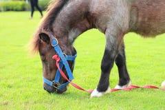 коричневая лошадь травы еды Стоковое Изображение RF