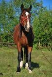 коричневая лошадь травы поля Стоковое Фото