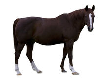 коричневая лошадь Стоковое Фото
