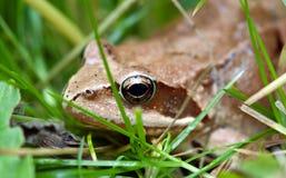коричневая лягушка Стоковые Фотографии RF