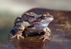 коричневая лягушка Стоковая Фотография RF
