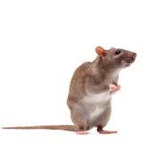коричневая милая отечественная крыса Стоковые Фотографии RF