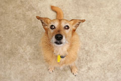 коричневая милая собака смотря вверх Стоковые Изображения RF