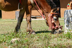 коричневая лошадь травы еды Стоковые Изображения RF
