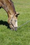 коричневая лошадь травы еды Стоковые Фотографии RF